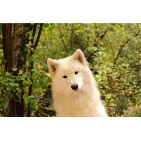 samoyed puppies for sale oregon run samoyeds samoyed breeder in summerville oregon