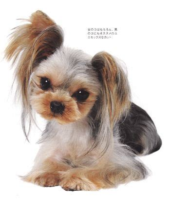 shuz dog hair cut 85 best yorkie haircuts images on pinterest yorkie