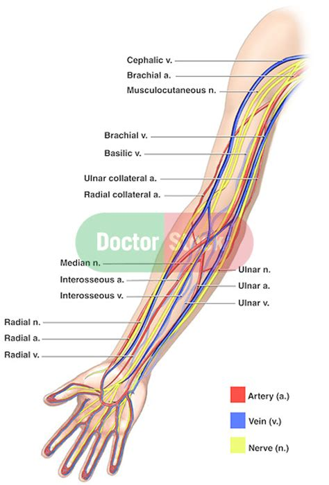 Human Anatomy Diagram. How Locate Veins In The Arm