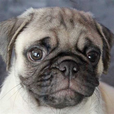 pug puppies south florida pug puppy for sale in boca raton south florida