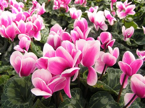 nomi di fiori in inglese cyclamen cyprus national flower wallpapers9
