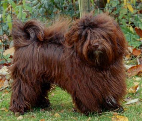 havanese chocolate brown havanese puppies www imgkid the image kid has it