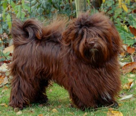 havanese chocolate puppies pin havanese chocolate puppy puppies on