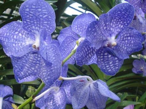 significato dei fiori orchidea linguaggio dei fiori orchidea significato fiori il