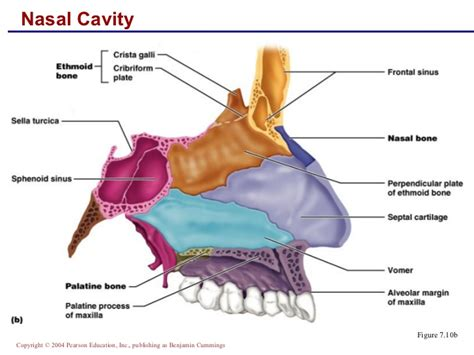 Nose Bones Anatomy