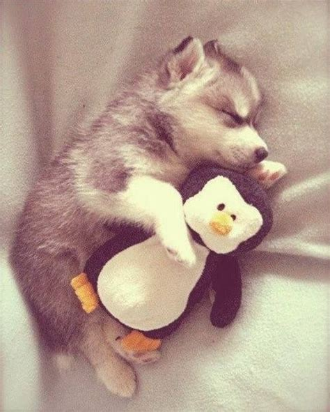 how should puppies sleep 14 husky puppies that should be illegal