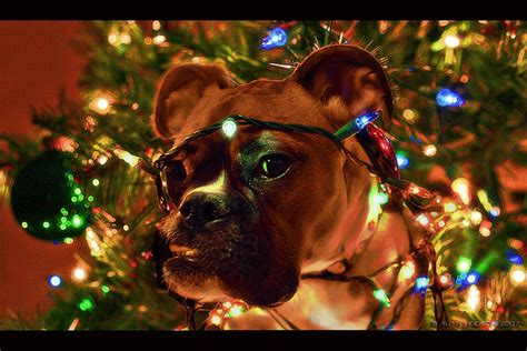 pictures of boxer dogs pets world