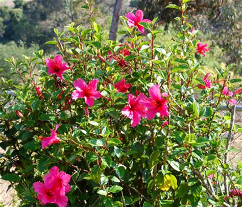 Variety Of Flowers For Garden Valley Hibiscus Hibiscus Types What Of Hibiscus Are These
