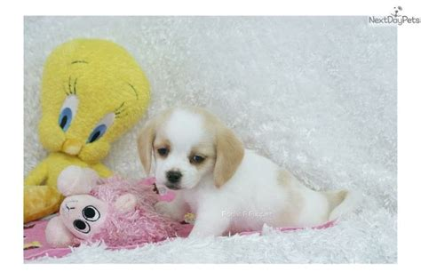 peagle puppies for sale 25 best ideas about puggle puppies for sale on puggles for sale pug