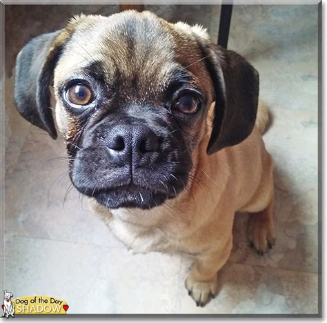 half pug half beagle shadow pug beagle mix november 3 2016