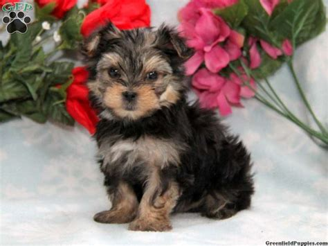 greenfeild puppies greenfield puppies new arrivals breeds picture