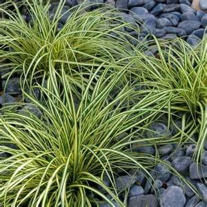 Patio Trees Uk Carex Oshimensis Evergold Japanese Sedge Pack Of Six