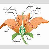 Flower Parts Carpel | 720 x 600 jpeg 42kB