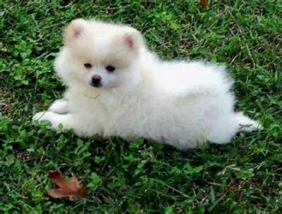 white teacup pomeranian husky pomeranian husky mix pomeranian husky pomeranians pomeranian puppy