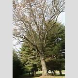 Eastern Redbud Leaves | 2336 x 3504 jpeg 6203kB