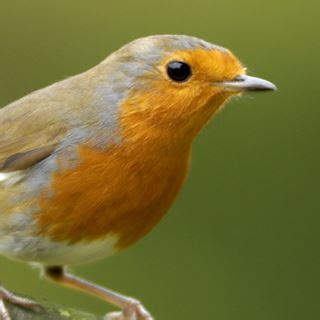 robin red breast bird facts erithacus rubecula the rspb