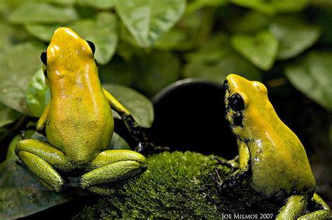Alat Pernapasan Anak Katak Atau Berudu blognya anak tuban sejati macam macam katak panah katak