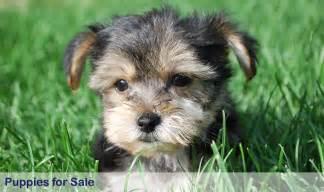 Puppies For Sale Puppies And Puppies For Sale In Rochester Mn