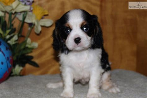 king charles cavalier puppies for sale near me cavalier king charles spaniel puppy for sale near lancaster pennsylvania c391e4d1 0fd1