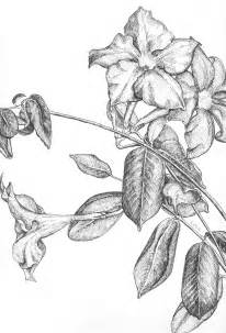Galerry jasmine flower coloring pages