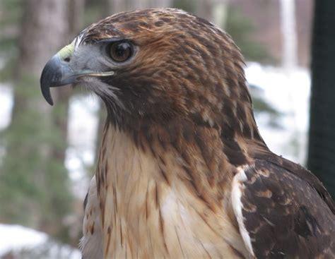 image gallery hawk beak