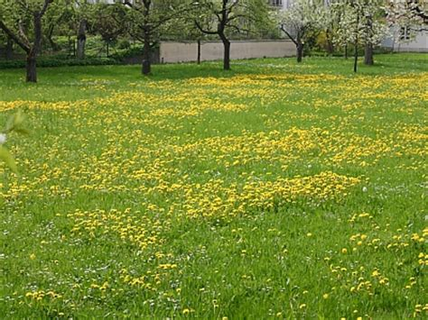 gelbe blumen im rasen unkraut im rasen bek 228 mpfen oder sich daran erfreuen