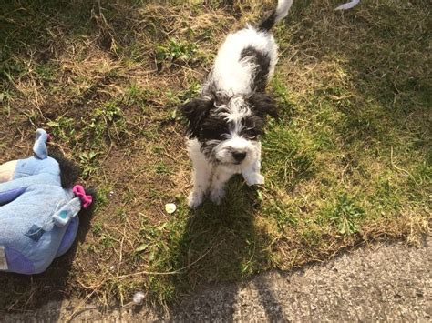 chonzer puppies for sale 8 month cavachon x chonzer for sale wirral merseyside pets4homes