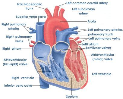 sections of the heart heart shape and position tutorvista com