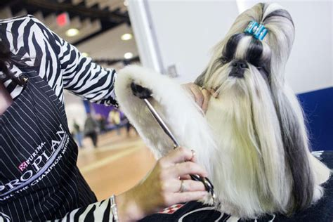 shih tzu club of america dogs begin march to fame in new york show world chinadaily cn