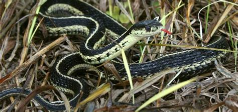 Garden Snake Ontario Reptiles And Hibians Of Ontario A New Ontario Reptile