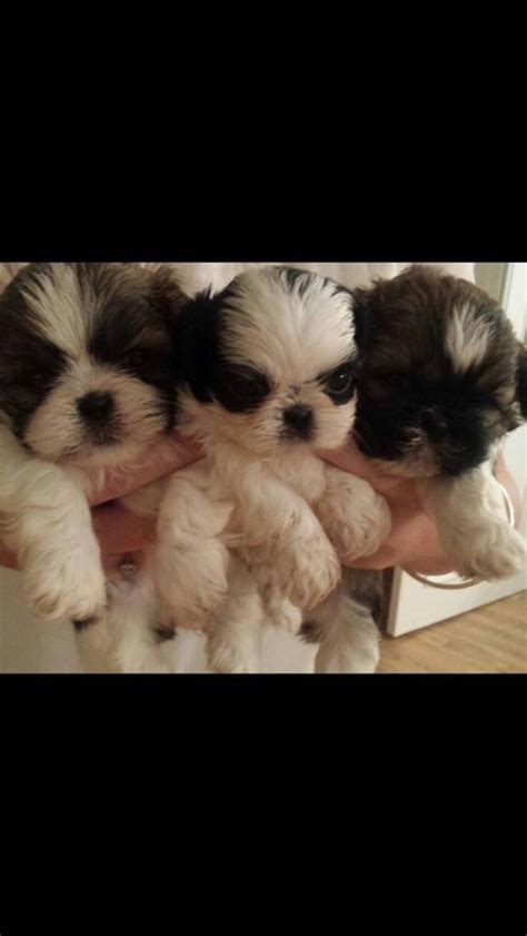 shih tzu puppies for sale in hshire shih tzu puppies for sale warrington cheshire pets4homes