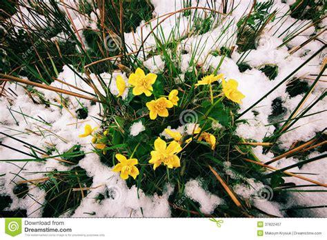 sta fiori la primavera sta venendo fiori e neve gialli fotografia
