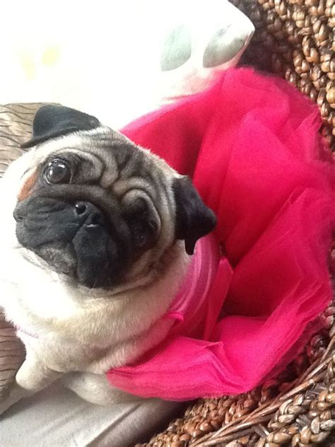 pug in a tutu 40 best images about pug on pug brindle pug and pug