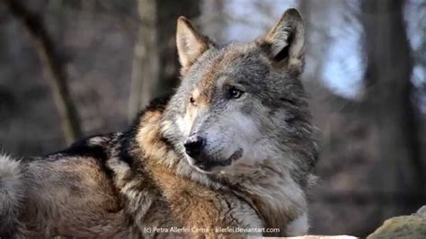 9 best images about wolf eurasian wolf howling youtube