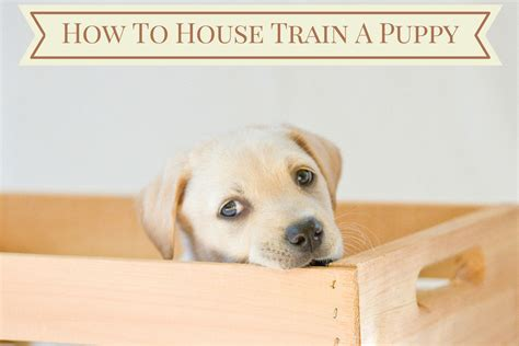 how to the labrador how to house a puppy follow these steps