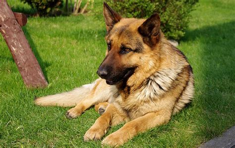best guard breeds best guard breeds deter burglars with a fearsome friend the field