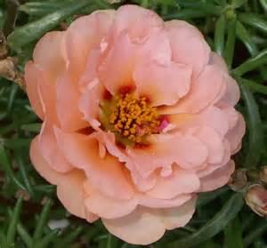 state flower of iowa iowa wild rose state flower flowers pinterest iowa