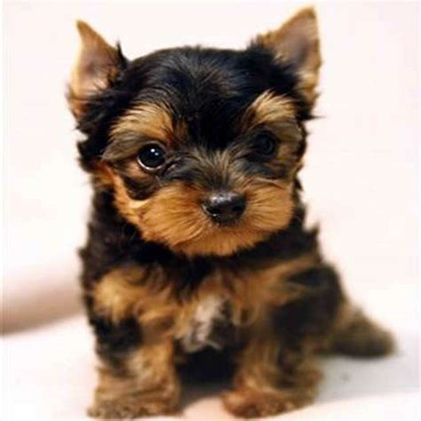yorkie teacup teacup terrier puppy images