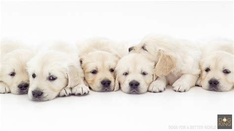 comprar golden retriever cachorros golden retriever para comprar dogs in our photo