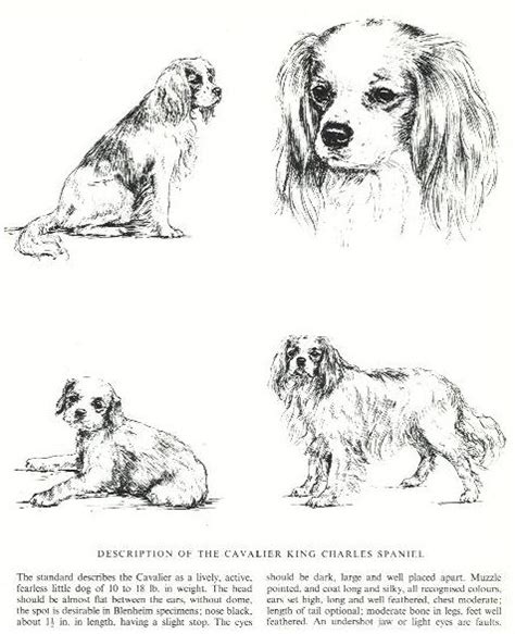 coloring pages of cavalier king charles spaniels cavalier king charles spaniel christmas coloring pages