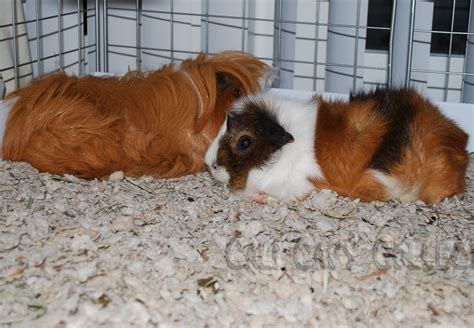 cali cavy collective a blog about all things guinea pig secrets of fleece bedding for guinea