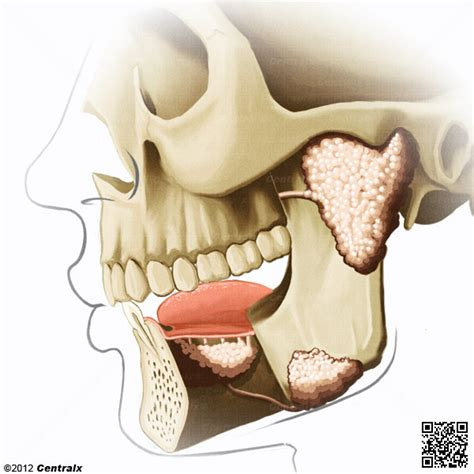 glandula submaxilar anatomia gl 225 ndulas salivales atlas de anatom 237 a del cuerpo humano