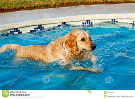 golden retriever swimming golden retriever swimming stock image image 21334101