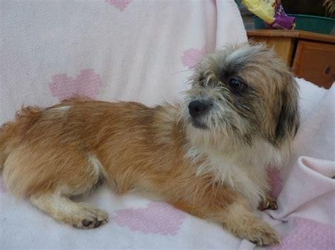 border terrier cross shih tzu stella 1 year shih tzu cross terrier for adoption
