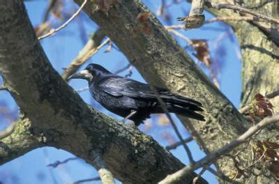 getting rid of crows in backyard how to get rid of nuisance crows with crow repellent home guides sf gate