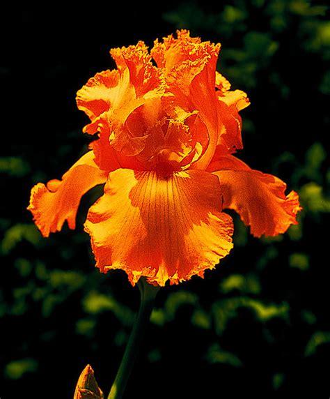 Kitchen Border Ideas buy hardy perennials now bearded iris glazed orange