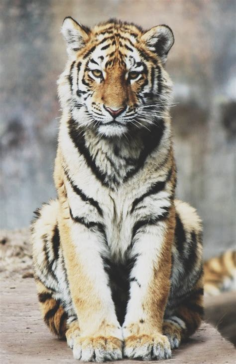 wallpaper tumblr tiger baby bengal tiger tumblr