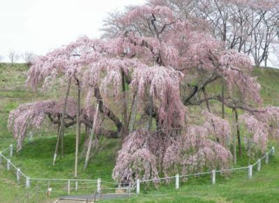 Nature Stek Bunga ga perlu kejepang untuk menikmati hanami 花見 ーはなみ
