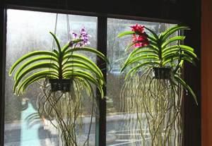orchid 233 e vanda culture entretien floraison