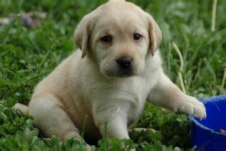puppies for sale williamsport pa puppies wallpaper 8 puppies for sale in williamsport pa biological science